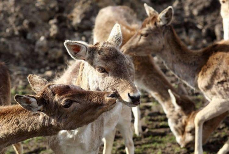 Daniele z hodowli ekologicznej- byki