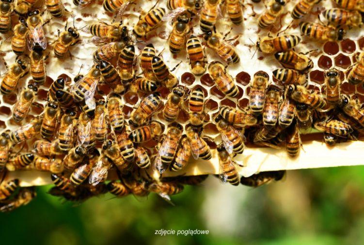 Rójki pszczele